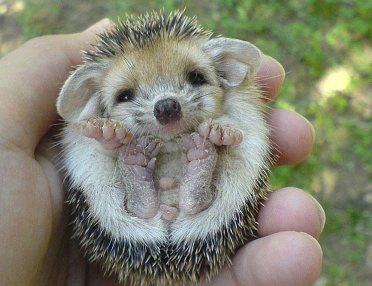 Baby Hedgehoge